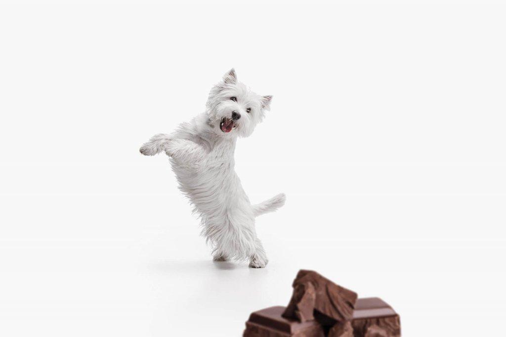 Kleiner weißer Hund mit Schokolade vor sich