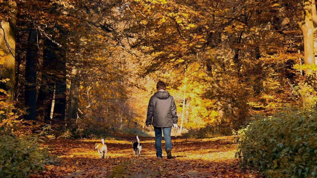 Person von hinten beim Spaziergang mit 2 Hunden in goldener Herbstlandschaft