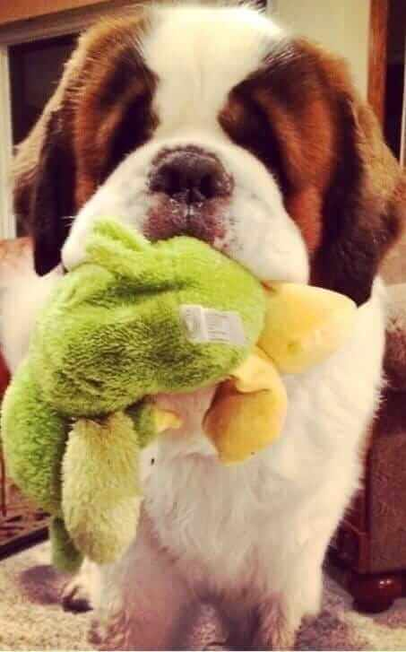 dog and soft toy