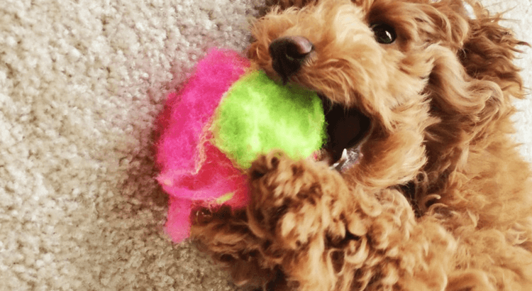 Why are dogs chewing on things?