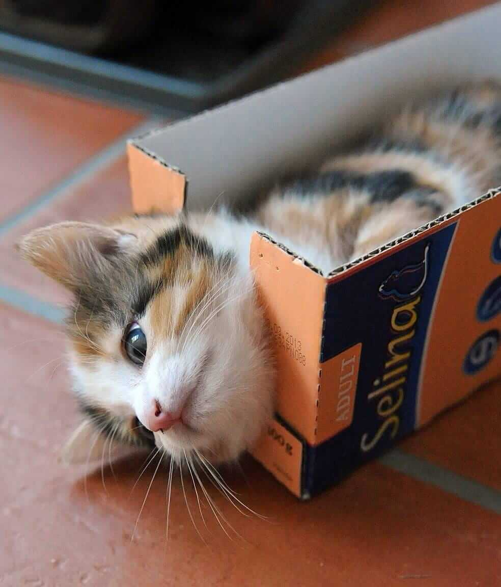 little cat loves boxes