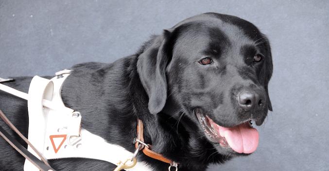 Blindenführhund: Das musst du unbedingt wissen