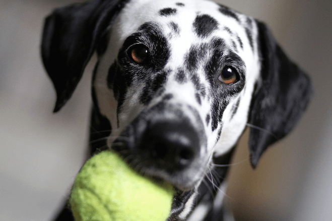 All you need to know about the dog breed: Dalmatian