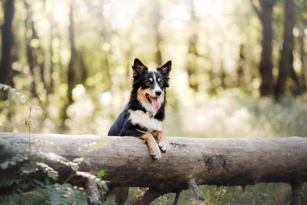 Dog in the woods leaning on a felled tree