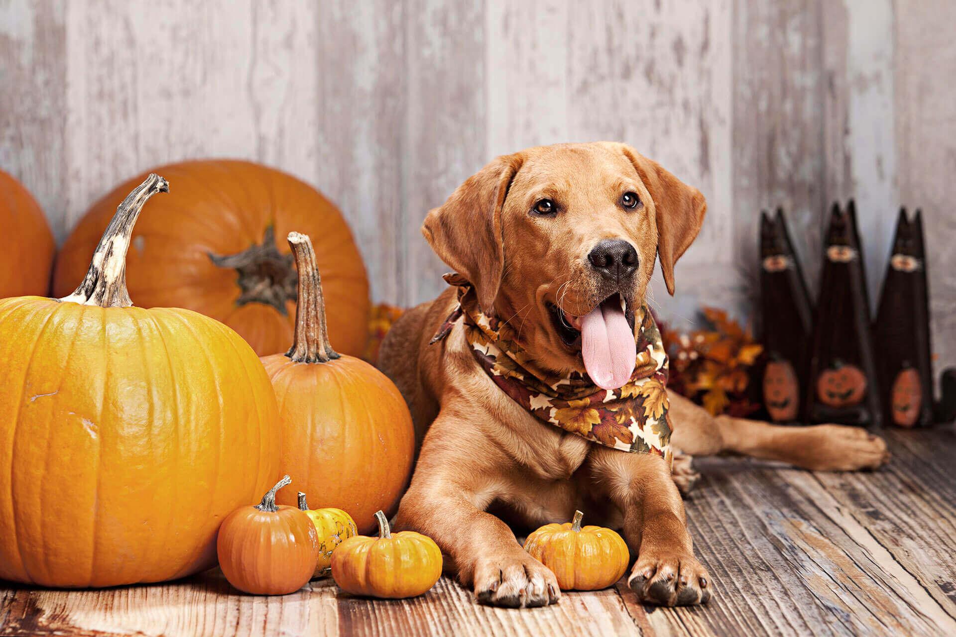 Halloween mit Hund: 6 Tipps für eine sorgenfreie Gruselnacht