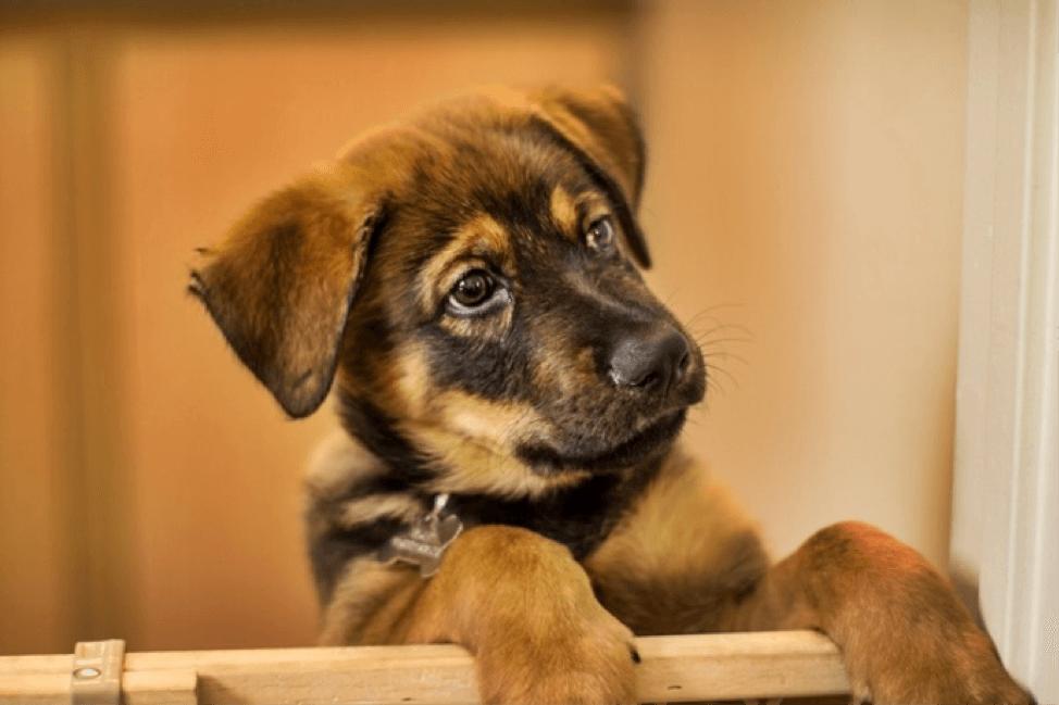 Welpe oder erwachsener Hund