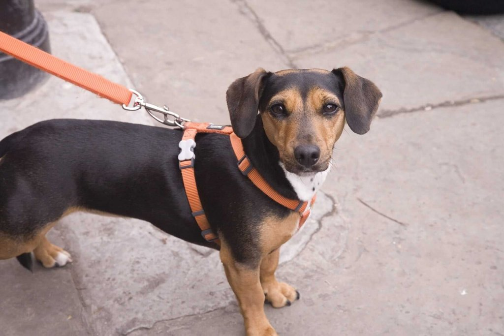 Hund an Leine gewöhnen: So klappt es im Nu