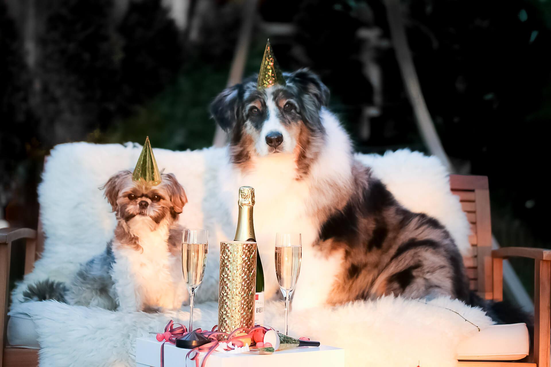 2 Hunde mit Partyhut auf weißer Couch mit Sektflasche und Gläsern