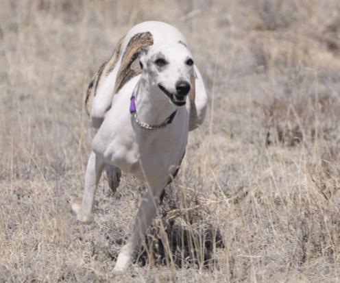 Windhund entlaufen - dank dem GPS Tracker wurde Hund gefunden