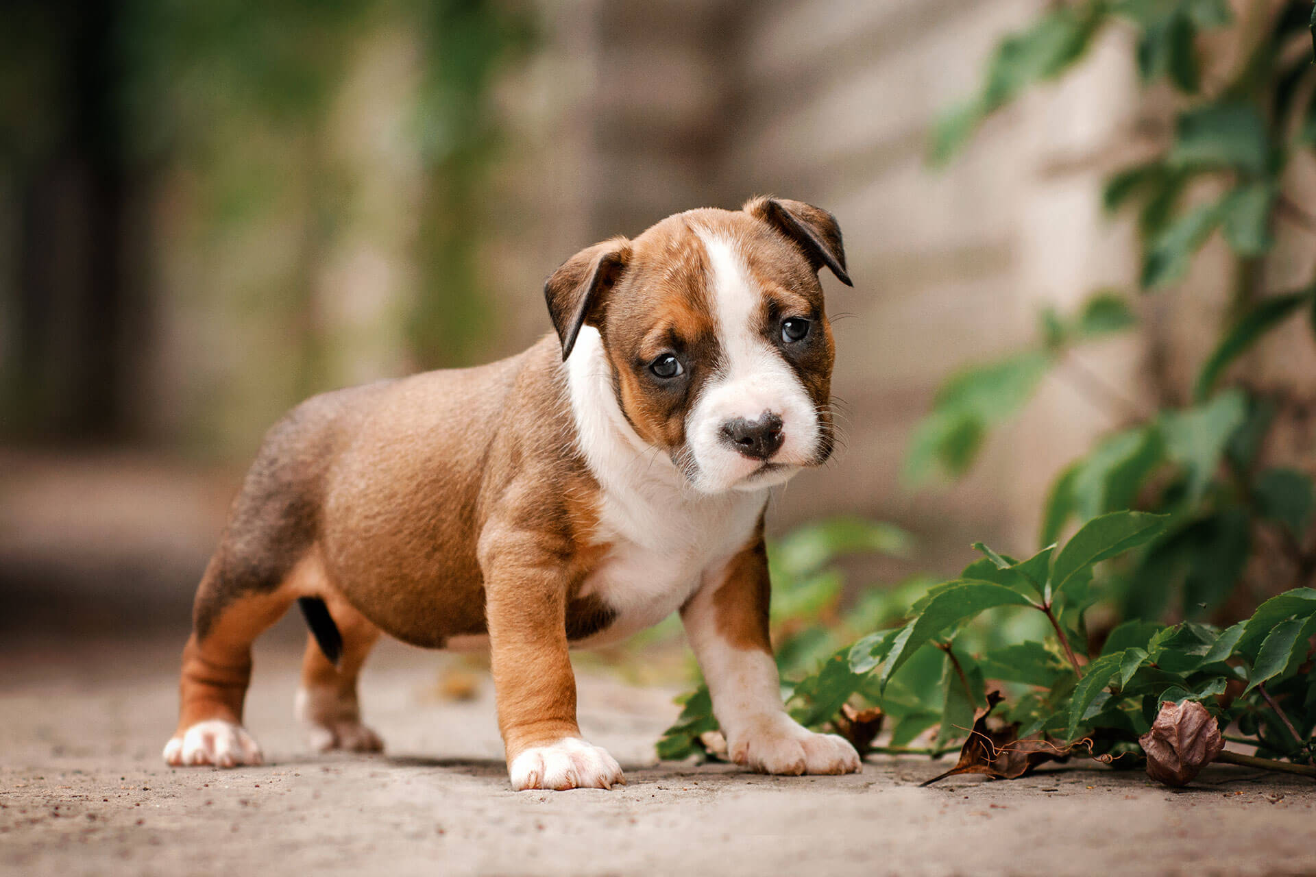brown and white puppy standing outside