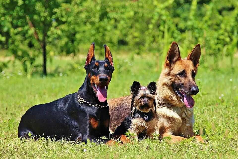 Hunde aneinander gewöhnen: so klappt es!