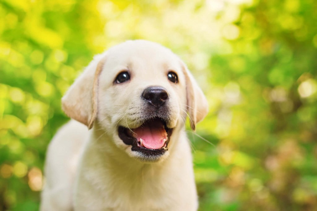 white lab puppy outdoors