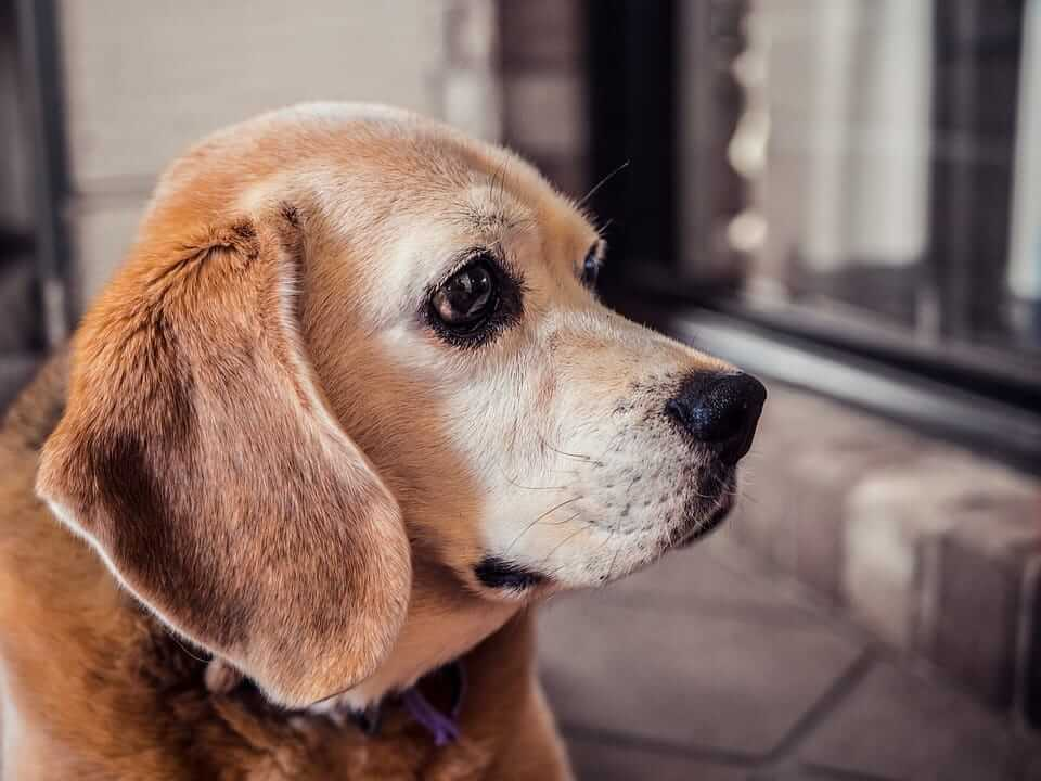 Dog Dementia: All you need to know