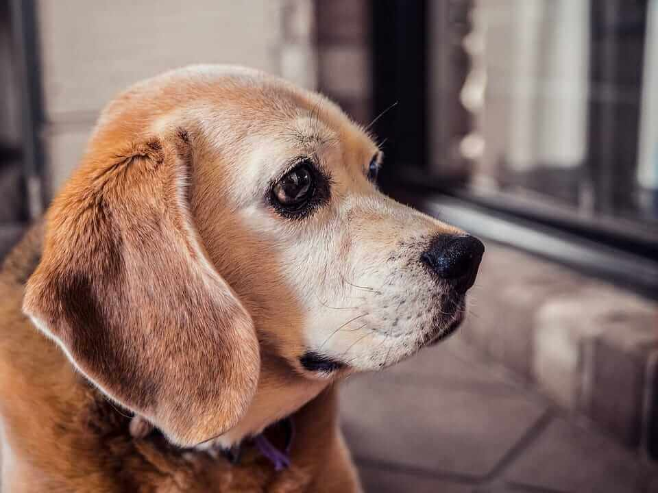 Understanding symptoms and behaviour of dog dementia