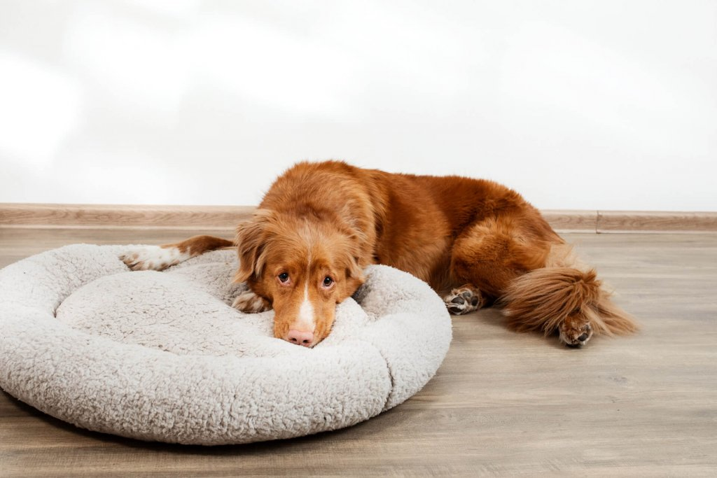 Sad dog lying next to dog bed - dog diarrhea