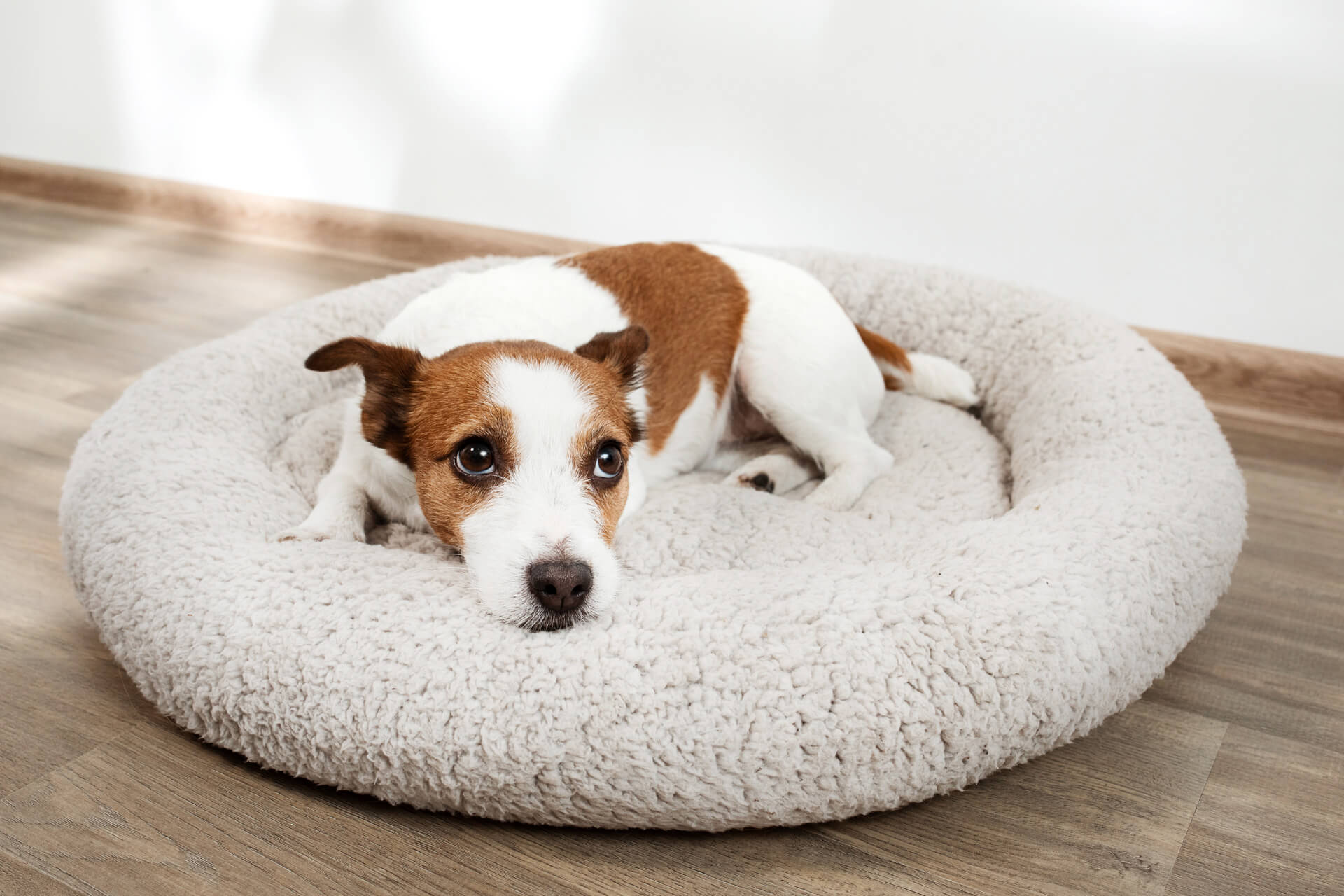 dog laying in dog bed looking sad - dog diarrhea