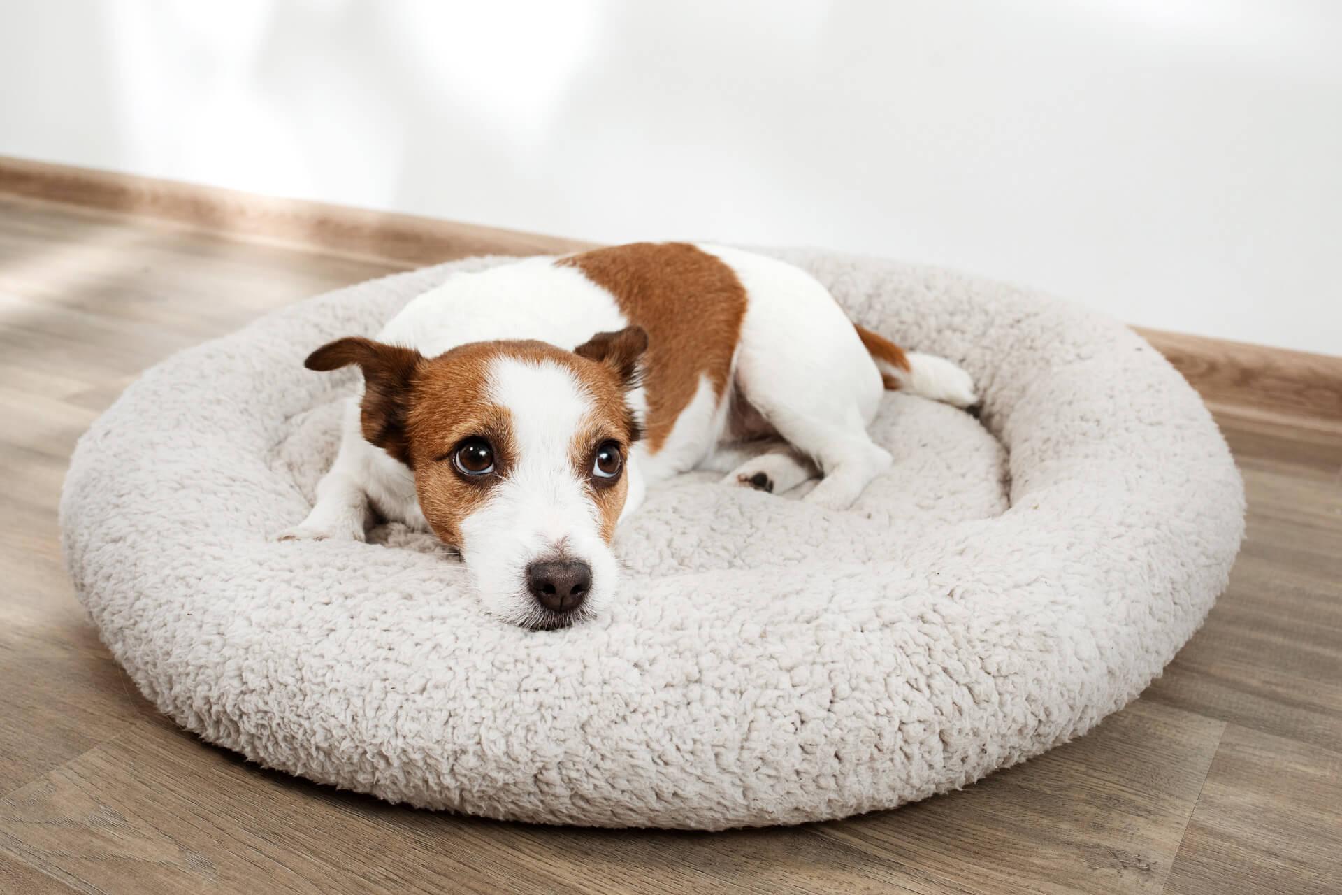 Hund liegt in seinem Hundebett und schaut traurig - wenn Hund Durchfall hat