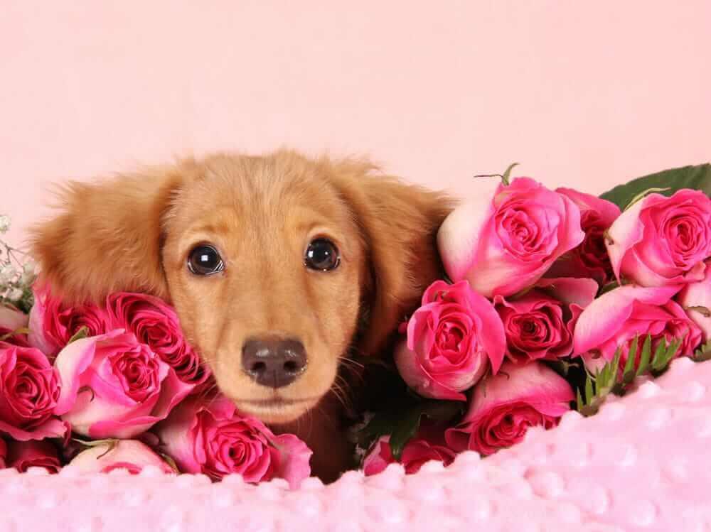 Regali di San Valentino per il tuo cane