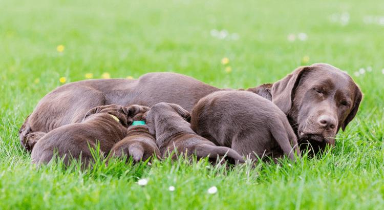 Cómo manejar a un perro en celo