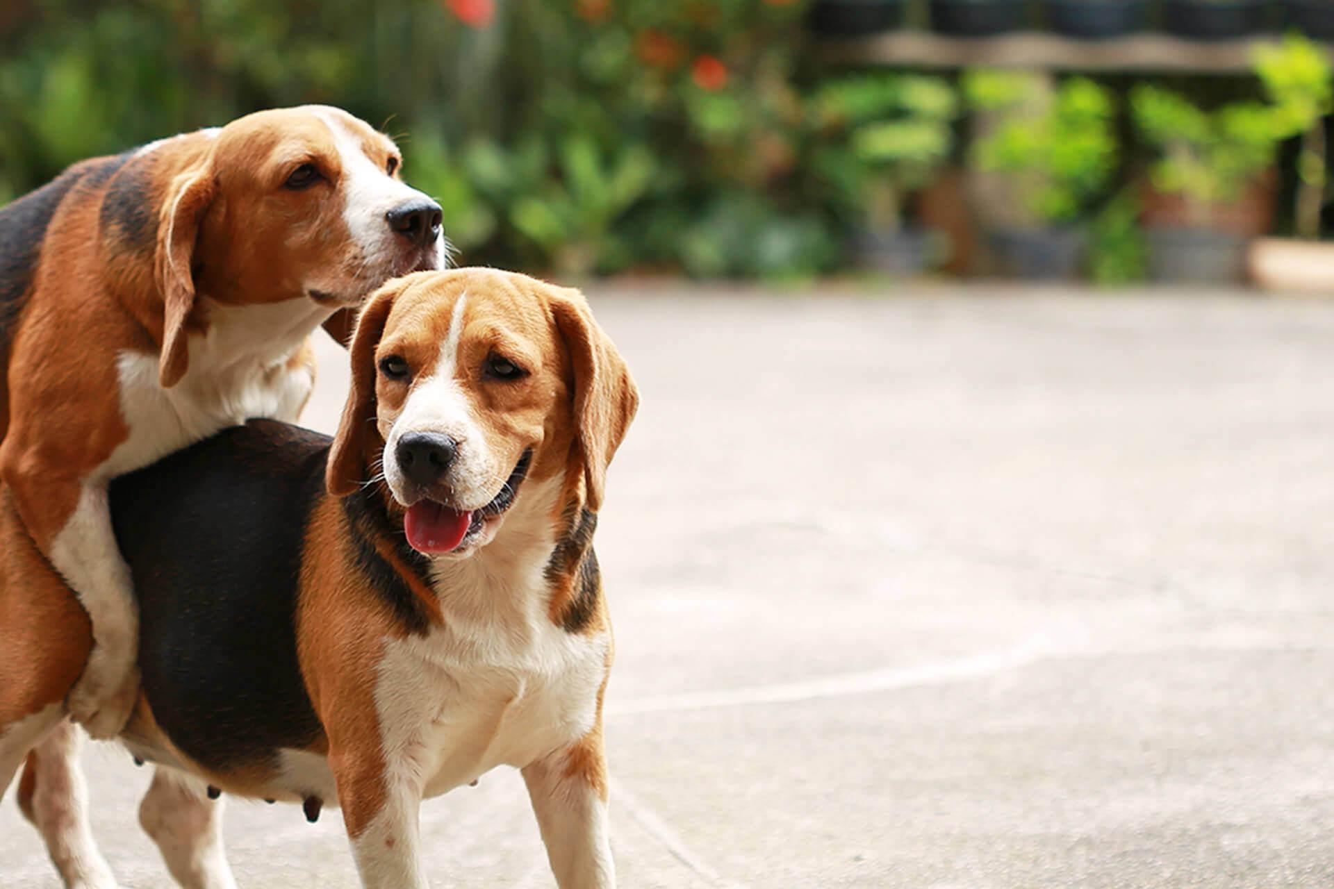 Cane in calore? Ecco cosa bisogna sapere