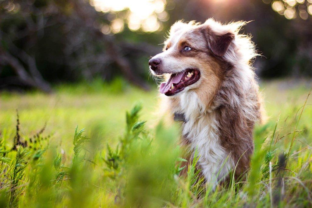 Australian Shepherd dog in field