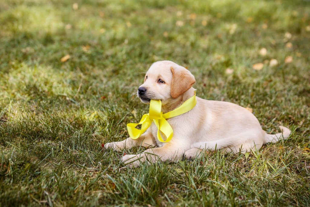puppy dog sitting in grass wearing yellow ribbon