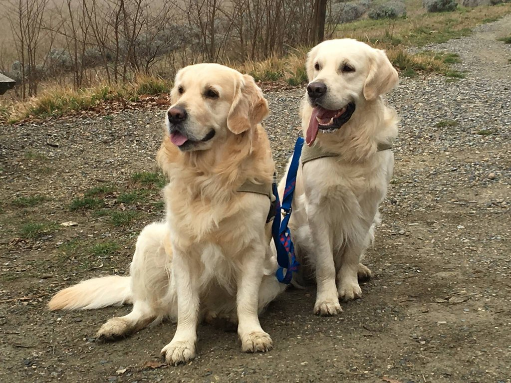 Happy dogs wearing Tractive GPS trackers - from out Tractive Reviews