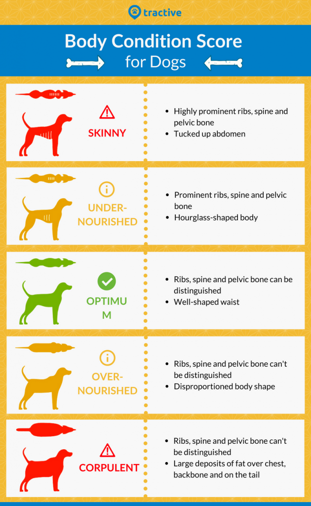 Pets body condition score visual infographic