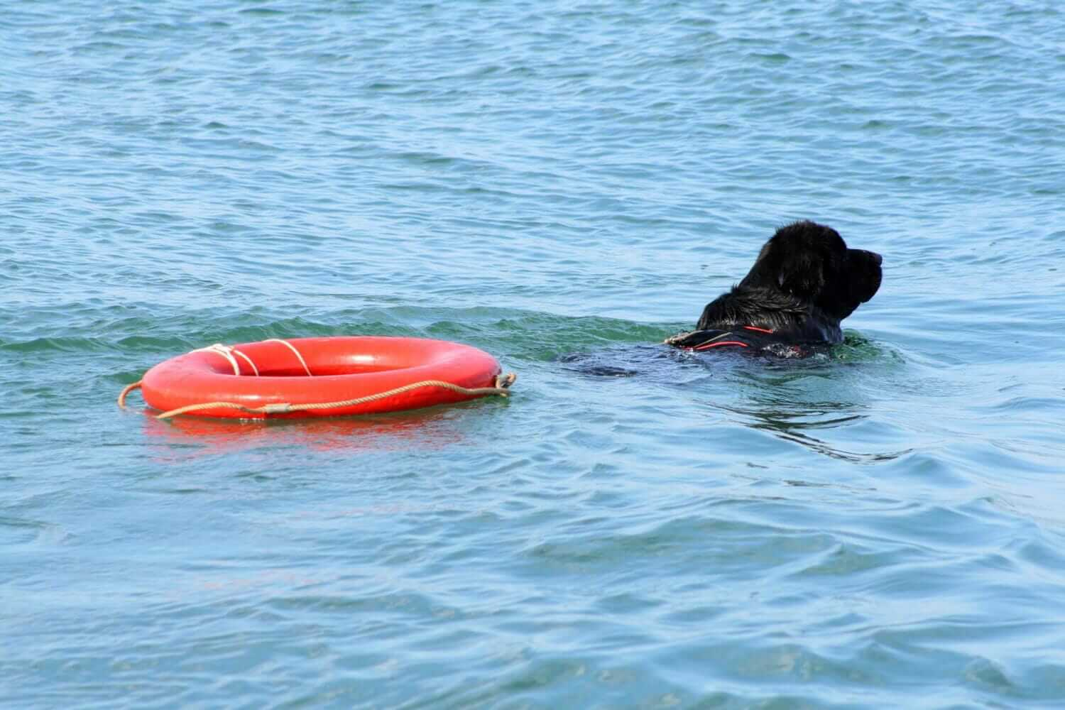 Newfoundland dog swimming in water