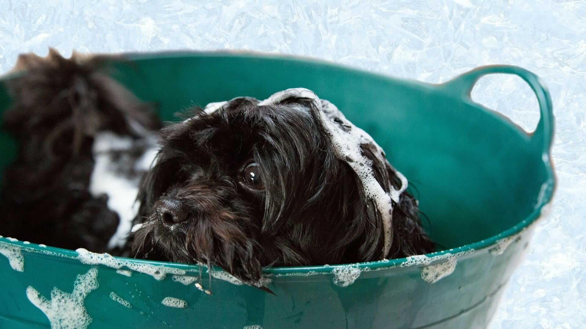 Cane che puzza? Ecco come lavare il cane senza lavarlo