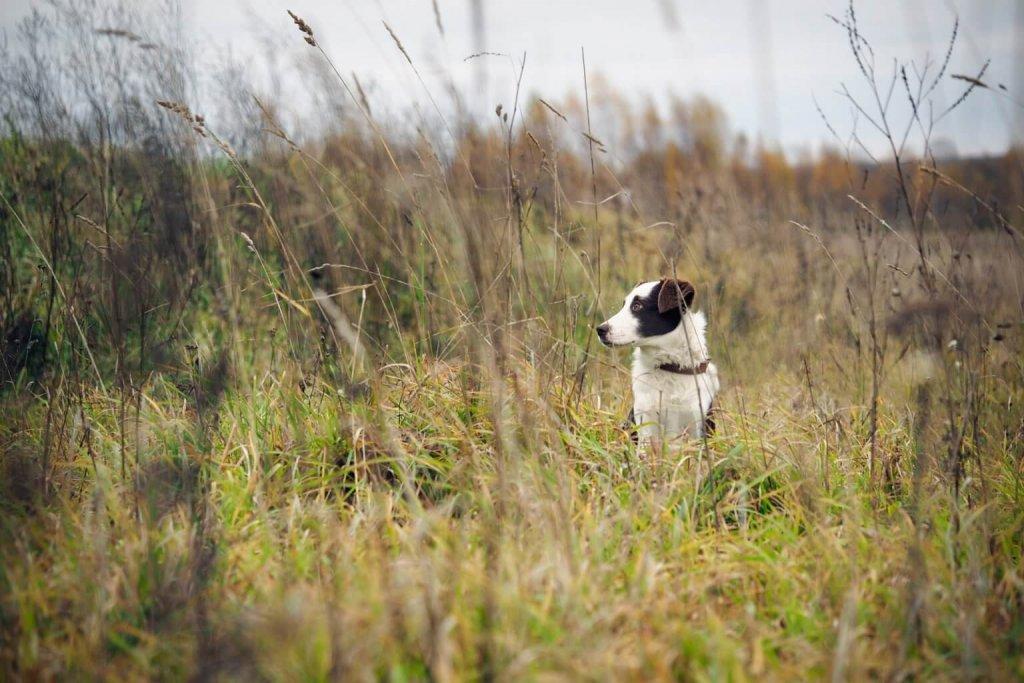 Schwarz-weißer Hund steht im Feld zwischen Grashalmen