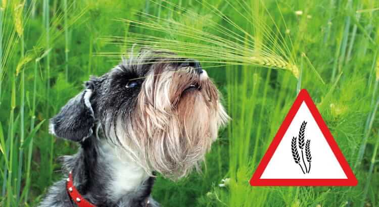 The Reasons Why Grass Awns Are Deadly Dangerous For Your Dog