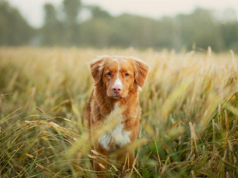 Rötlich-brauner Hund steht inmitten eines Getreidefeldes