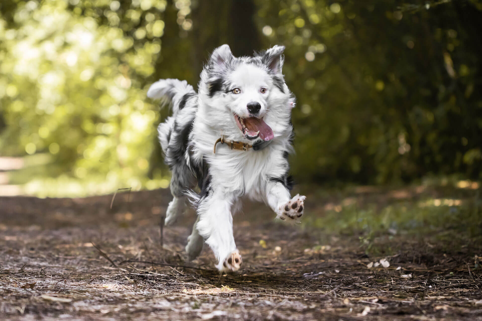 overweight dog running through forest