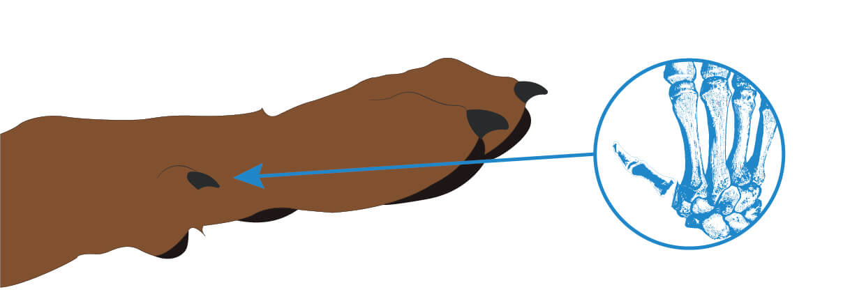 Afterkralle beim Hund: Tipps zum Schneiden