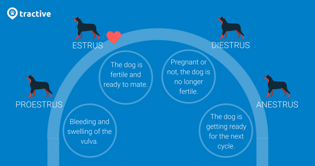 why do dogs go missing? mating cycle in dogs infographic - proestrus, estrus, diestrus, anestrus