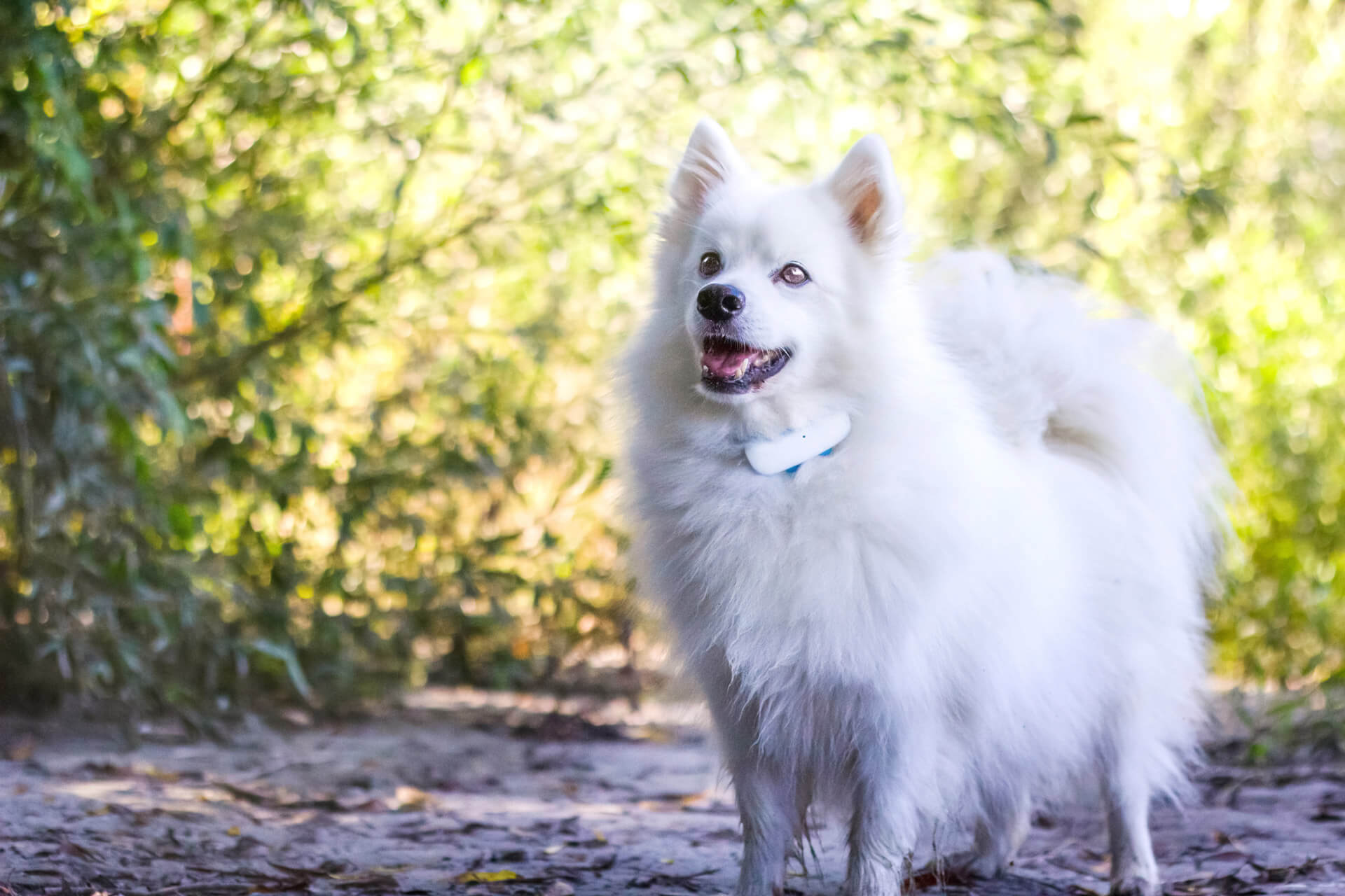 white dog wearing GPS tracker outdoors