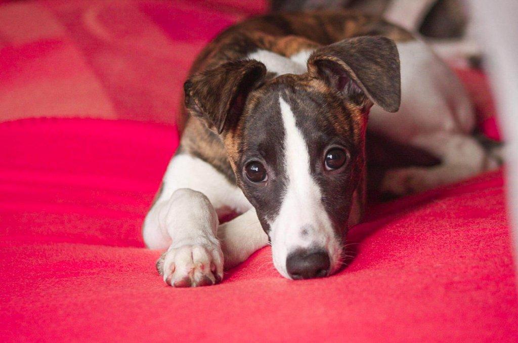 Gelenkschmerzen bei Hunden: Alles was du wissen musst