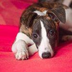 Gelenkschmerzen bei Hunden: Ursache, Symptome und vieles mehr