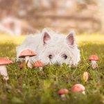 Giftige Pflanzen für Hunde - Hund frisst giftige Pilze