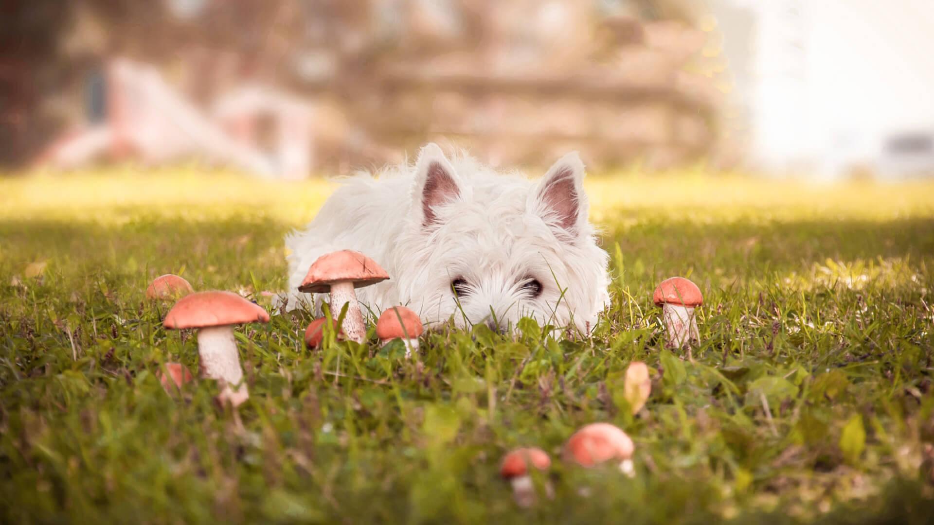 Kleiner, weißer Hund in Wiese mit Giftpilzen