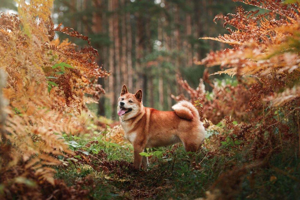 Braun-weißer Hund in herbstlichem Wald