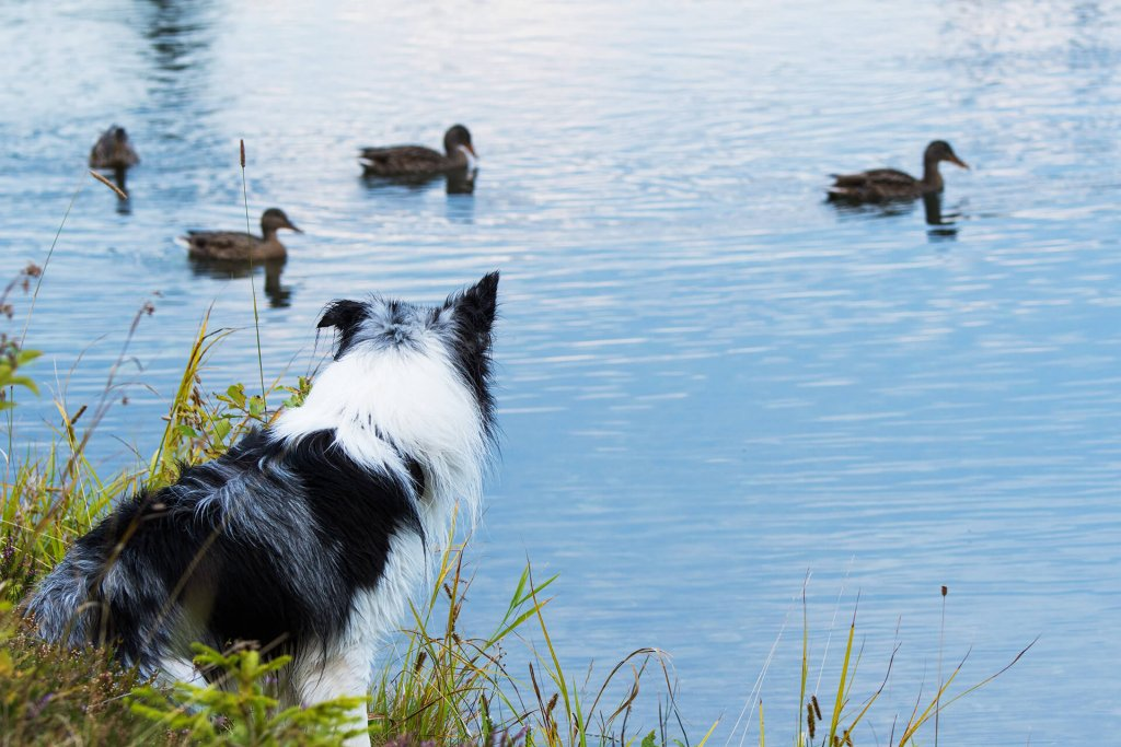 Dog leash during breeding season: beware of these dangers!