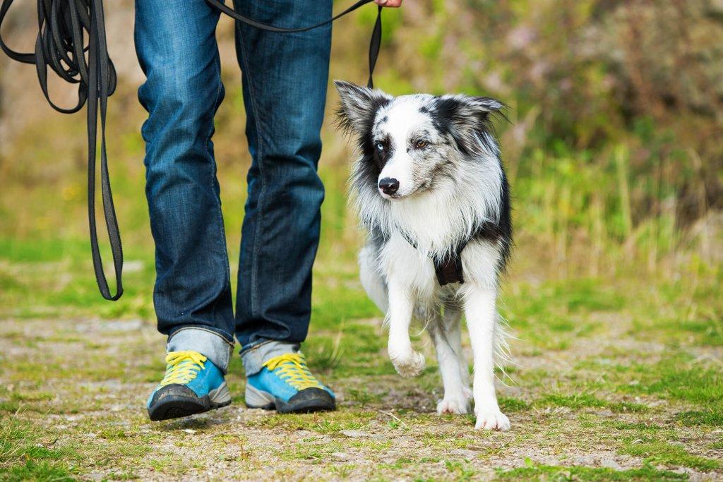 man in blue jeans heel training a dog - dog leash training