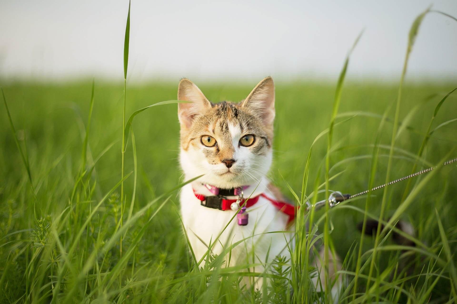 Katze an Geschirr gewöhnen - schrittweise Anleitung