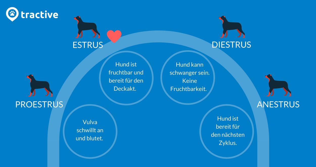 Läufigkeit bei Hündinnen - Zyklusphasen bei Hunden