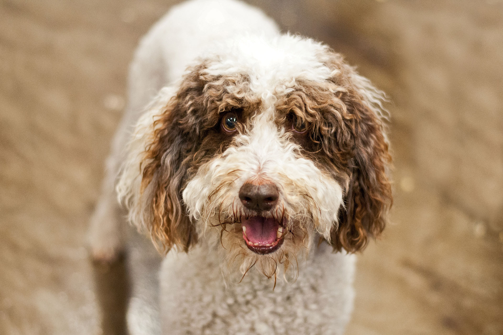 7 dog breeds that like water- Irish water spaniel