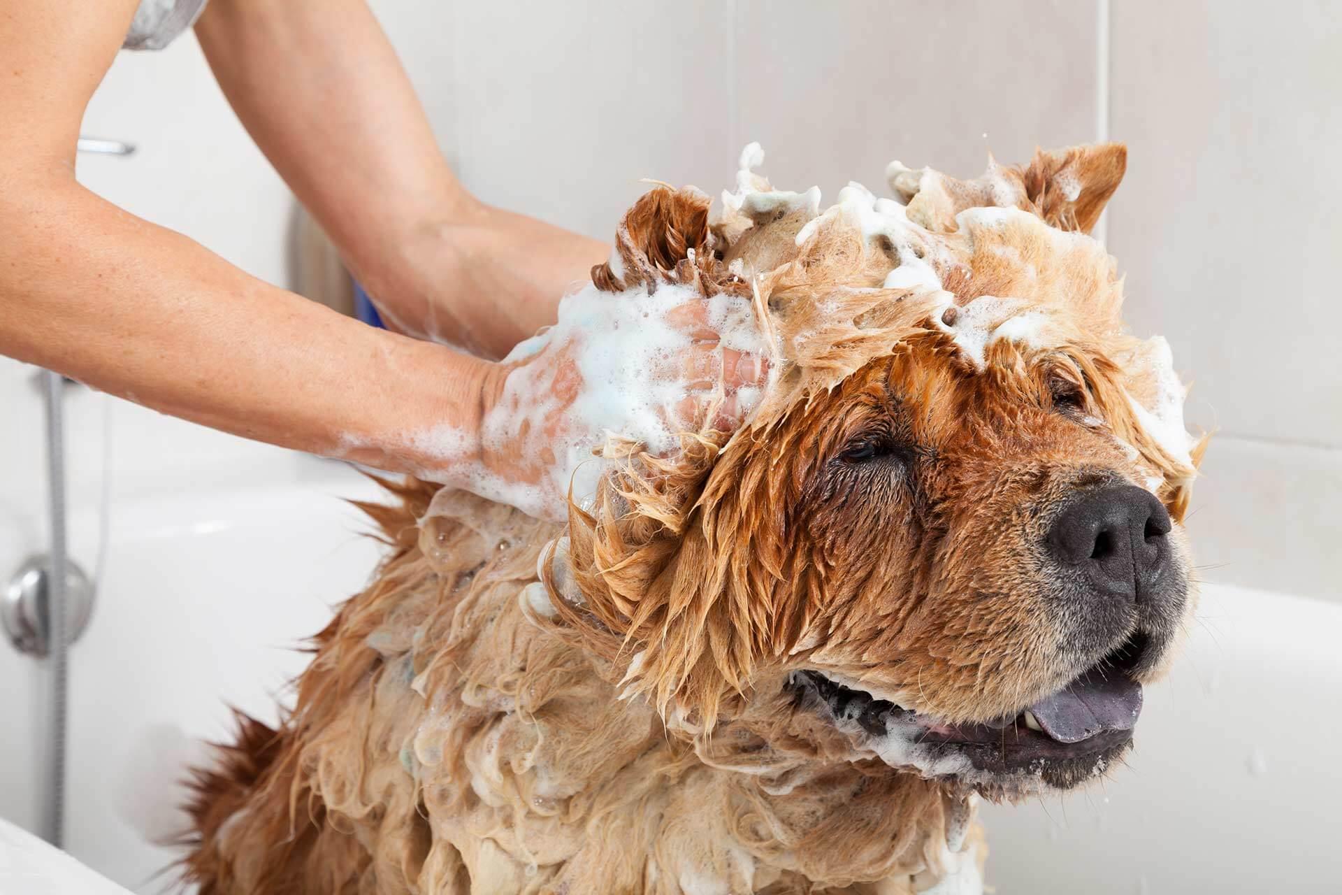 Fellwechsel beim Hund: Shampoo hilft