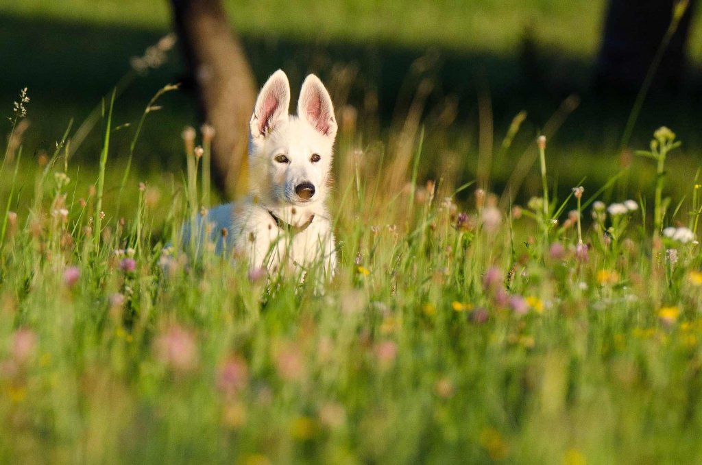 white dog in field of flowers