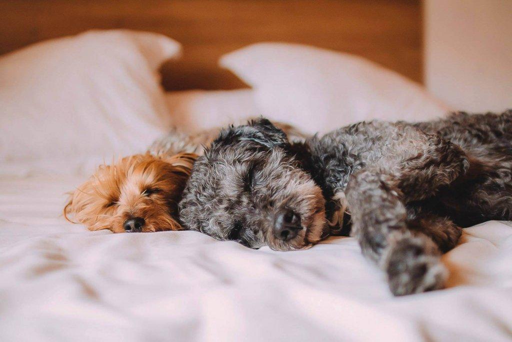 Zwei Hunde schlafen im Bett